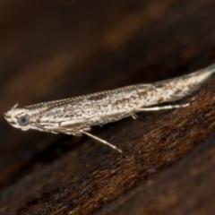 Gracillariidae (family) (A leafminer moth) at Melba, ACT - 7 Feb 2021 by Bron