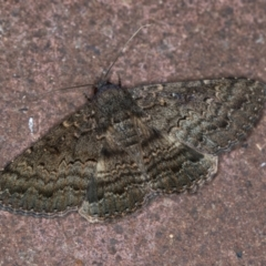 Eudesmeola lawsoni (Lawson's Night Moth) at Melba, ACT - 7 Feb 2021 by Bron