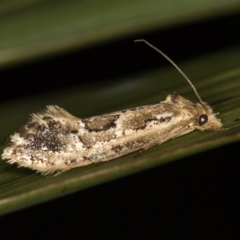 Moerarchis inconcisella (A tineid moth) at Melba, ACT - 7 Feb 2021 by Bron