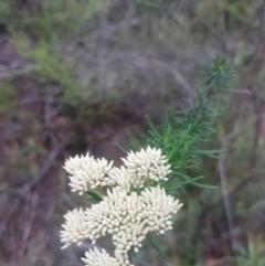Cassinia aculeata subsp. aculeata (Dolly Bush, Common Cassinia, Dogwood) at Mongarlowe, NSW - 12 Dec 2020 by MelitaMilner