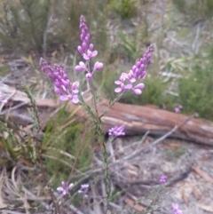 Comesperma ericinum (Pyramid Flower) at Mongarlowe, NSW - 12 Dec 2020 by MelitaMilner