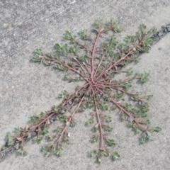 Portulaca oleracea (Pigweed, Purslane) at Conder, ACT - 22 Feb 2021 by michaelb