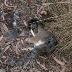 Pseudocheirus peregrinus (Common Ringtail Possum) at Tidbinbilla Nature Reserve - 23 Feb 2021 by SWishart