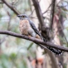 Cacomantis flabelliformis (Fan-tailed Cuckoo) at Tidbinbilla Nature Reserve - 23 Feb 2021 by SWishart
