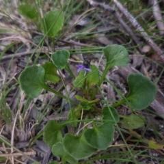 Viola sp. (Violet) at Mongarlowe, NSW - 12 Dec 2020 by MelitaMilner