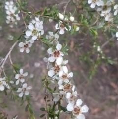 Leptospermum obovatum (TBC) at Mongarlowe, NSW - 12 Dec 2020 by MelitaMilner