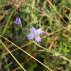Epilobium sp. (A Willow Herb) at Namadgi National Park - 20 Feb 2021 by MatthewFrawley