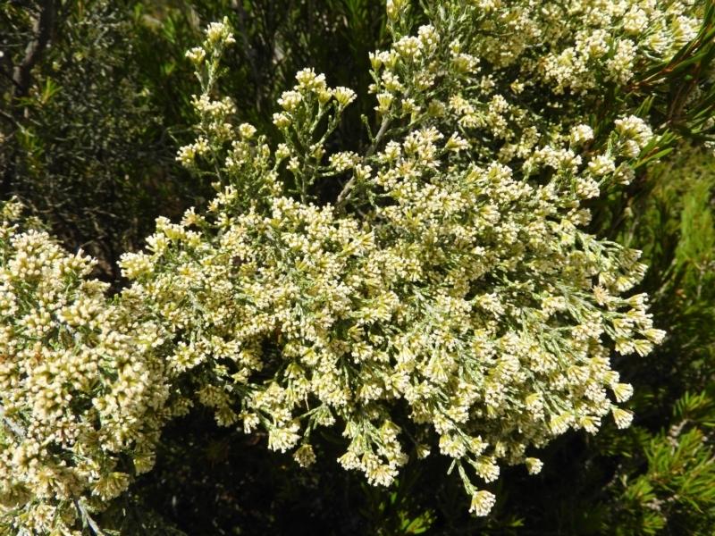 Ozothamnus cupressoides at Namadgi National Park - 20 Feb 2021
