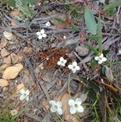 Mitrasacme polymorpha at Mongarlowe, NSW - 11 Dec 2020 by MelitaMilner
