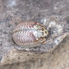 Paropsisterna m-fusca (Eucalyptus Leaf Beetle) at Namadgi National Park - 24 Feb 2021 by SWishart