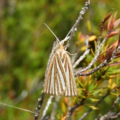 Amelora oritropha (Alpine Striped Cape-moth) at Namadgi National Park - 20 Feb 2021 by MatthewFrawley