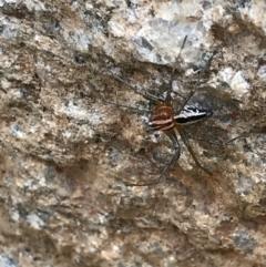 Oxyopes sp. (genus) (Lynx spider) at Namadgi National Park - 25 Feb 2021 by MattFox