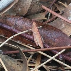 Goniaea opomaloides (Mimetic Gumleaf Grasshopper) at Namadgi National Park - 25 Feb 2021 by Ned_Johnston