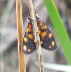 Asura lydia (Lydia Lichen Moth) at Black Mountain - 25 Feb 2021 by tpreston