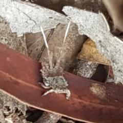 Platybrachys sp. (genus) (A gum hopper) at Black Mountain - 25 Feb 2021 by tpreston