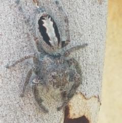 Sandalodes superbus (Ludicra Jumping Spider) at Black Mountain - 25 Feb 2021 by tpreston