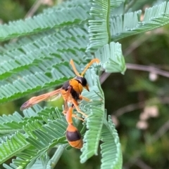 Delta bicinctum (Potter wasp) at Murrumbateman, NSW - 25 Feb 2021 by SimoneC