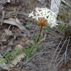 Pimelea linifolia (Slender Rice Flower) at Mongarlowe, NSW - 11 Dec 2020 by MelitaMilner