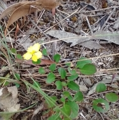 Goodenia hederacea subsp. hederacea (Ivy Goodenia, Forest Goodenia) at Mongarlowe, NSW - 11 Dec 2020 by MelitaMilner