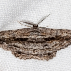 Scioglyptis chionomera (Grey-patch Bark Moth) at Melba, ACT - 14 Feb 2021 by Bron