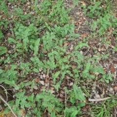 Onobrychis viciifolia (Sainfoin) at Hughes, ACT - 19 Feb 2021 by Jiggy