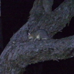 Trichosurus vulpecula (Common Brushtail Possum) at Wanniassa Hill - 24 Feb 2021 by ChrisHolder