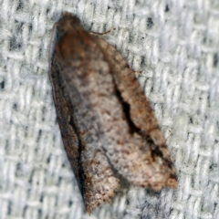 Meritastis undescribed species (A Tortricid moth) at O'Connor, ACT - 22 Feb 2021 by ibaird