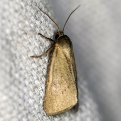 Heliocheilus moribunda (A Noctuid moth) at O'Connor, ACT - 22 Feb 2021 by ibaird