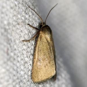 Heliocheilus moribunda at O'Connor, ACT - 22 Feb 2021
