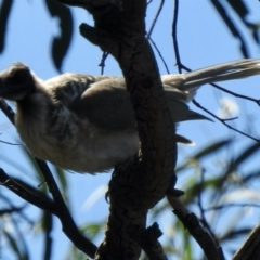 Philemon corniculatus (Noisy Friarbird) at Aranda, ACT - 26 Feb 2021 by KMcCue