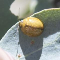 Paropsisterna variicollis (Eucalyptus variegated beetle) at Hall, ACT - 25 Feb 2021 by AlisonMilton