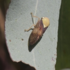 Brunotartessus fulvus (Yellow-headed Leafhopper) at Hall, ACT - 25 Feb 2021 by AlisonMilton