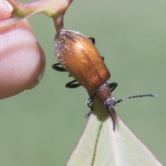 Ecnolagria grandis (Honeybrown beetle) at Hall, ACT - 25 Feb 2021 by AlisonMilton