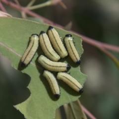 Paropsis sp. (genus) (A leaf beetle) at Hall, ACT - 25 Feb 2021 by AlisonMilton