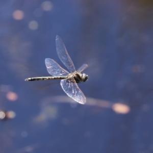 Hemicordulia tau at Jerrabomberra Wetlands - 26 Feb 2021