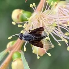 Geron nigralis (Slender bee fly) at Murrumbateman, NSW - 26 Feb 2021 by SimoneC