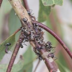 Eurymeloides punctata (Gumtree hopper) at Higgins, ACT - 23 Feb 2021 by AlisonMilton