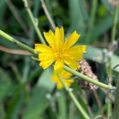 Chondrilla juncea (Skeleton Weed) at Griffith Woodland - 26 Feb 2021 by AlexKirk