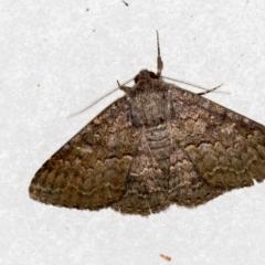 Eudesmeola lawsoni (Lawson's Night Moth) at Melba, ACT - 15 Feb 2021 by Bron