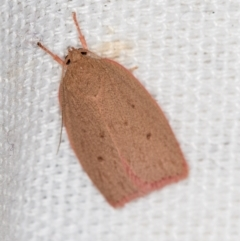 Garrha leucerythra (A concealer moth) at Melba, ACT - 15 Feb 2021 by Bron