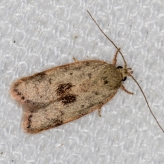 Garrha phoenopis (A Concealer moth) at Melba, ACT - 3 Feb 2021 by Bron