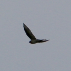 Hirundo neoxena (Welcome Swallow) at Deakin, ACT - 24 Feb 2021 by LisaH