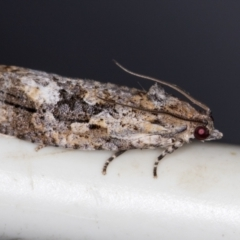 Thrincophora lignigerana (A Tortricid moth) at Melba, ACT - 4 Feb 2021 by Bron