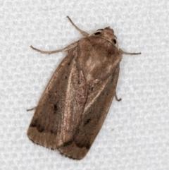Proteuxoa (genus) (A Noctuid moth) at Melba, ACT - 4 Feb 2021 by Bron