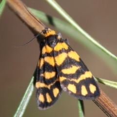 Asura lydia (Lydia Lichen Moth) at Hughes Grassy Woodland - 25 Feb 2021 by LisaH