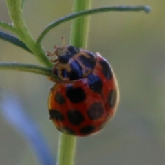 Harmonia conformis (Common Spotted Ladybird) at Deakin, ACT - 25 Feb 2021 by LisaH