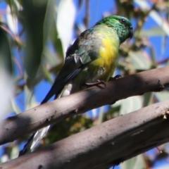 Psephotus haematonotus (Red-rumped Parrot) at Deakin, ACT - 25 Feb 2021 by LisaH