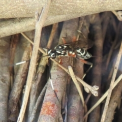 Stenarella victoriae (An ichneumon parasitic wasp) at Jerrabomberra Wetlands - 26 Feb 2021 by Christine