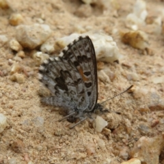 Lucia limbaria (Chequered Copper) at Cotter River, ACT - 24 Feb 2021 by Christine