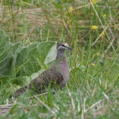 Phaps chalcoptera (Common Bronzewing) at Woodstock Nature Reserve - 26 Feb 2021 by wombey